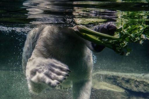 Celery ijsbeer
